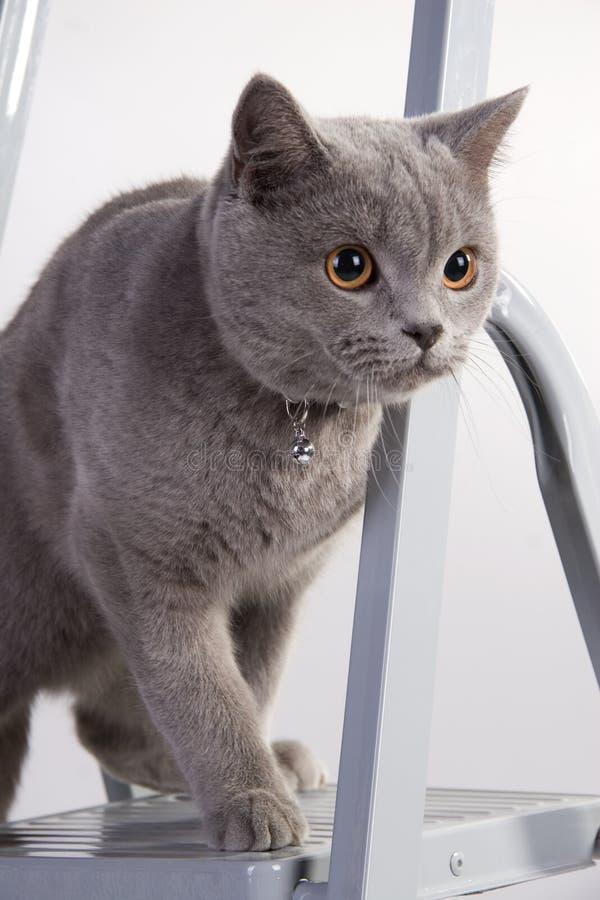 γάτα τα χαριτωμένα σκωτσέζ&iot στοκ φωτογραφίες