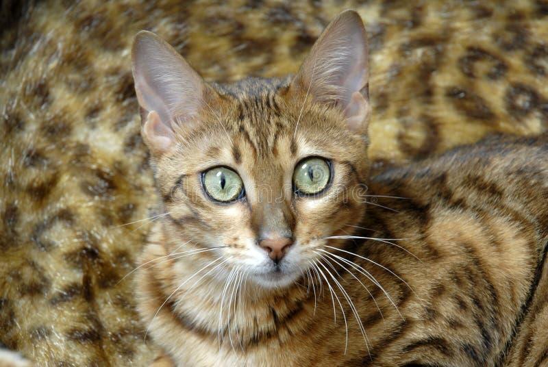 γάτα της Βεγγάλης στοκ εικόνα με δικαίωμα ελεύθερης χρήσης