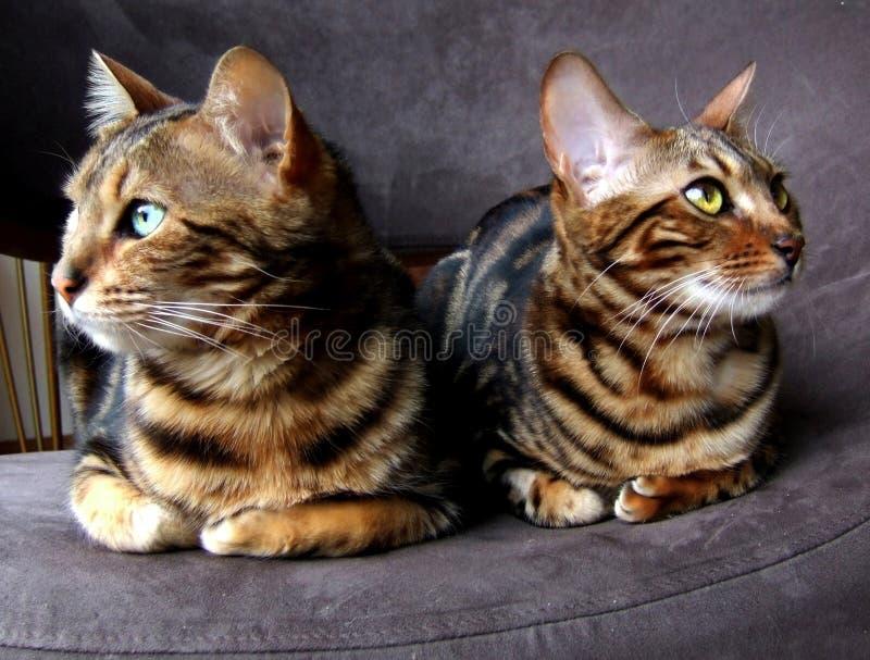 Γάτα της Βεγγάλης: Δύο γάτες bengals που κάθονται το ένα δίπλα στο άλλο να φανεί αντίθετες πλευρές στοκ εικόνες