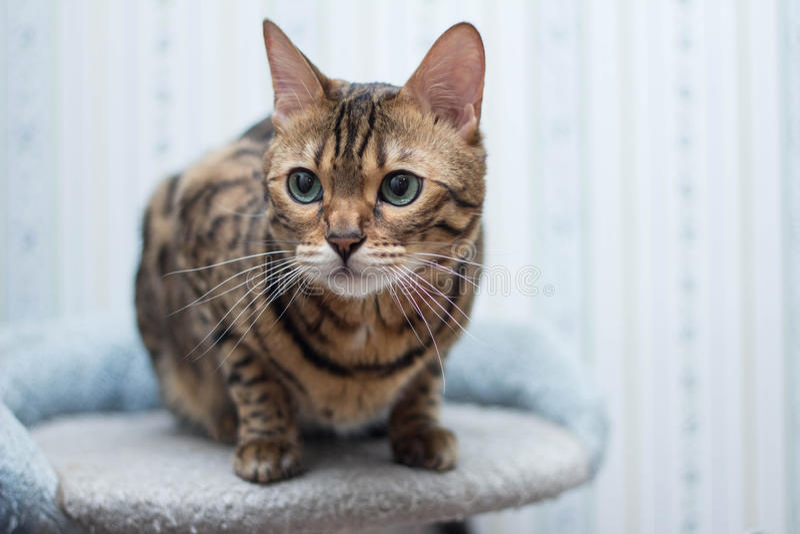 γάτα της Βεγγάλης στοκ φωτογραφία με δικαίωμα ελεύθερης χρήσης