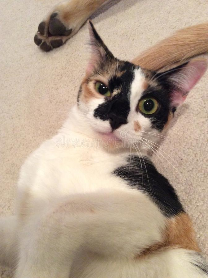 γάτα τρελλή στοκ εικόνες