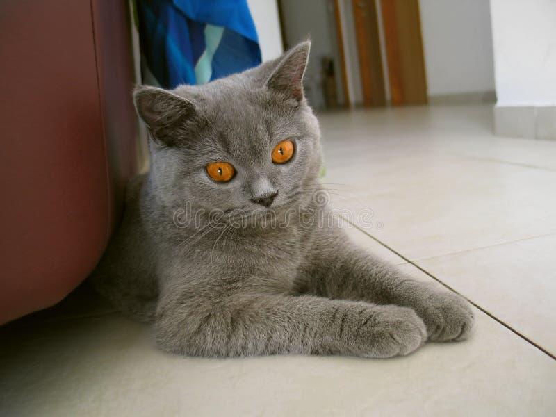 γάτα Τσέσαϊρ στοκ εικόνα με δικαίωμα ελεύθερης χρήσης