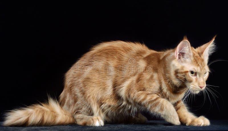 Γάτα Φυλή - το Μαίην Coon στοκ εικόνες με δικαίωμα ελεύθερης χρήσης