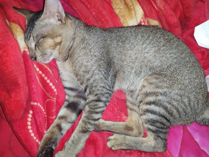 Γάτα ύπνου στο κρεβάτι στοκ φωτογραφίες