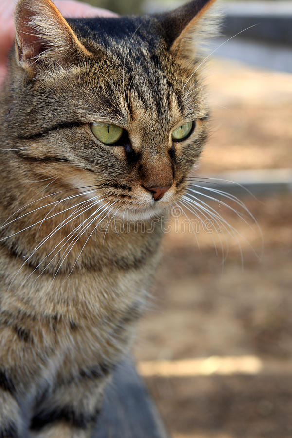 Download γάτα στοκ εικόνα. εικόνα από γκρίζος, πρόσωπο, cuddly - 17052979