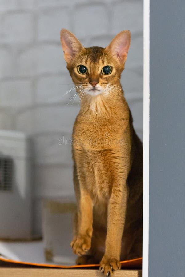 Γάτα Abyssinian Αρχαία φυλή γατών στοκ εικόνες με δικαίωμα ελεύθερης χρήσης