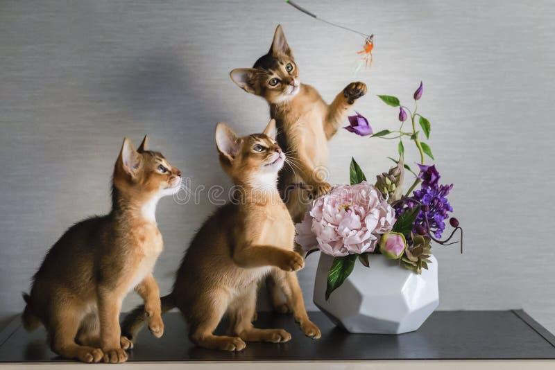 Γάτα Abyssinian, γατάκια που παίζει, όμορφα και αστεία στοκ εικόνες