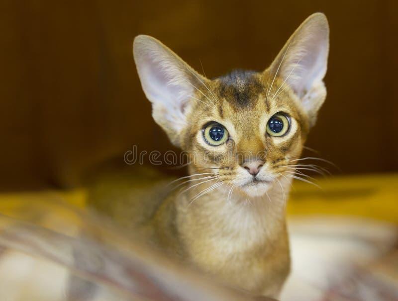 Γάτα Abyssinian, κοντή τρίχα, χρώμα σοκολάτας στοκ εικόνες με δικαίωμα ελεύθερης χρήσης