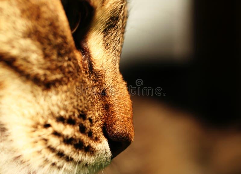 γάτα AP στενή στοκ εικόνα