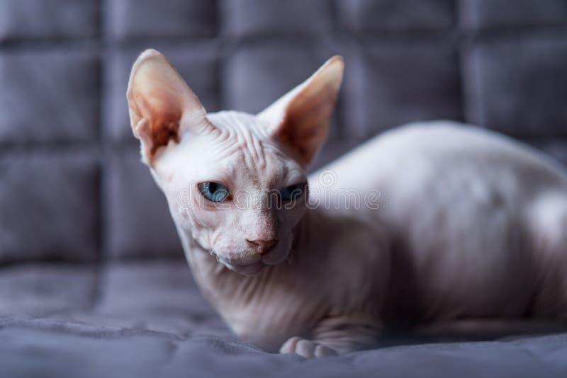 Γάτα Bambino στοκ εικόνες