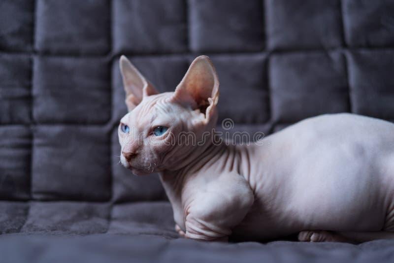 Γάτα Bambino στοκ φωτογραφίες με δικαίωμα ελεύθερης χρήσης