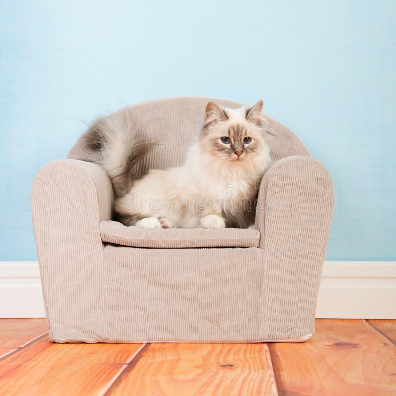 Γάτα Birman στην καρέκλα στοκ εικόνες