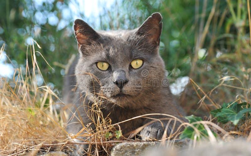 γάτα chartreux στοκ εικόνα