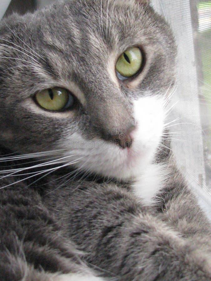 γάτα frankie στοκ εικόνες