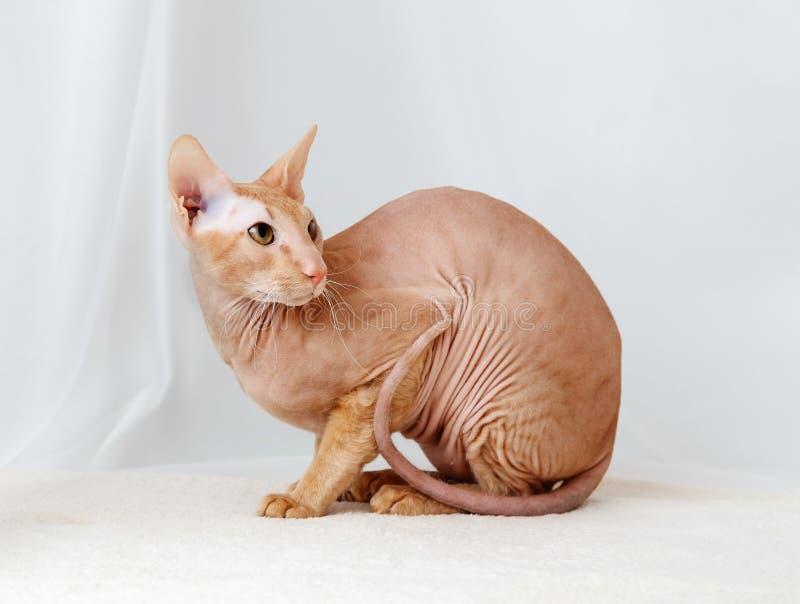 Γάτα Peterbald, ασιατικό Shorthair στοκ φωτογραφία με δικαίωμα ελεύθερης χρήσης