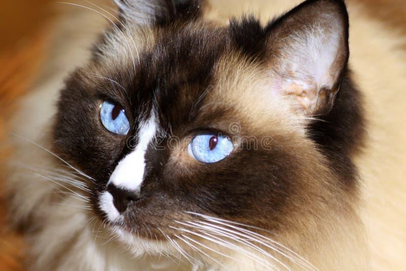 γάτα ragdoll στοκ εικόνες