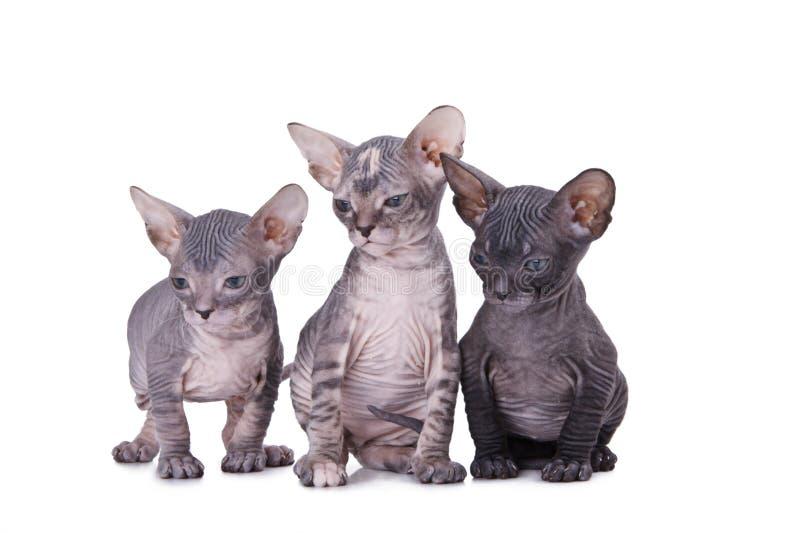 γάτα Sphinx Στοκ Εικόνες