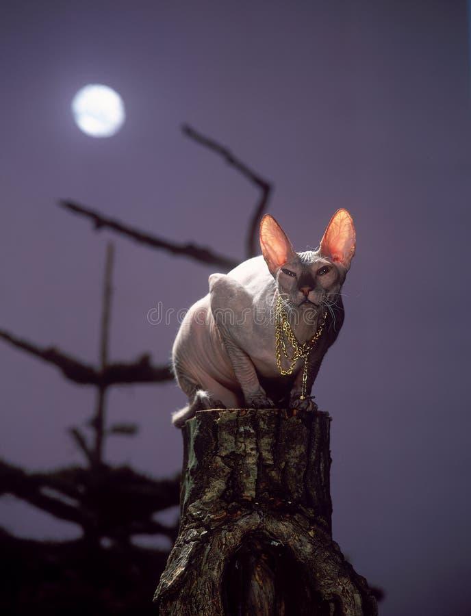 γάτα sphinx ελεύθερη απεικόνιση δικαιώματος