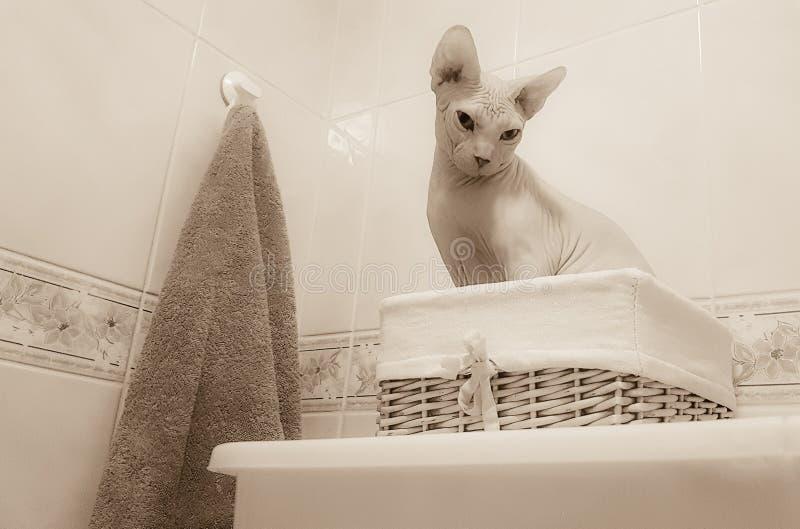 Γάτα Sphynx σε ένα λουτρό, αστεία έκφραση στοκ εικόνες με δικαίωμα ελεύθερης χρήσης
