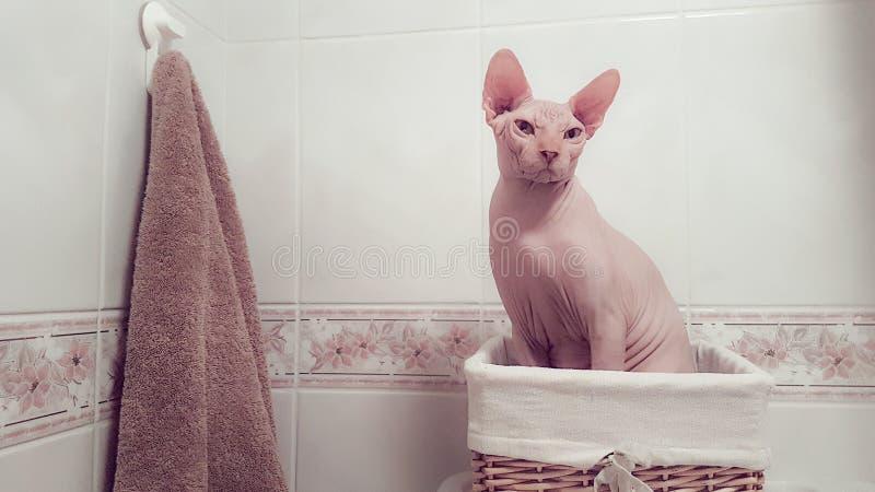 Γάτα Sphynx σε ένα λουτρό στοκ φωτογραφία