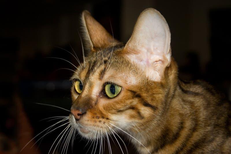 γάτα toyger στοκ εικόνες