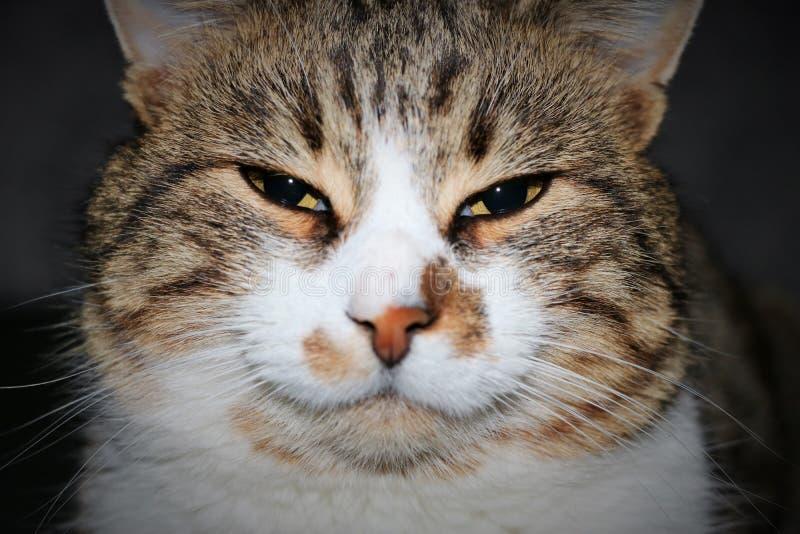γάτα umber, κινηματογράφηση σε πρώτο πλάνο στοκ φωτογραφίες με δικαίωμα ελεύθερης χρήσης