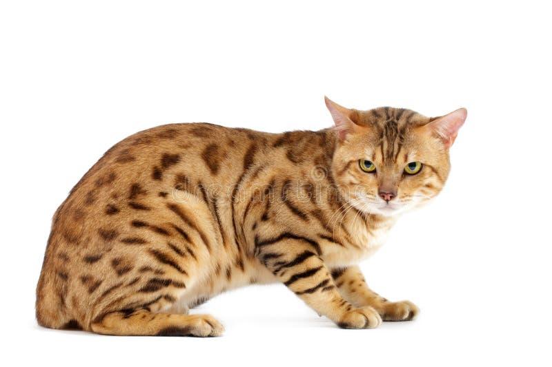 γάτες διασταύρωσης της Βεγγάλης στοκ φωτογραφία
