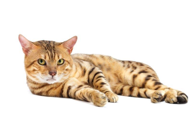 γάτες διασταύρωσης της Βεγγάλης στοκ φωτογραφίες