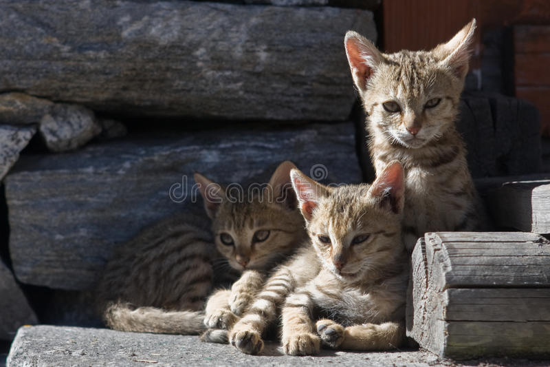 Γάτες στο νεπαλικό ορεινό χωριό στοκ εικόνες