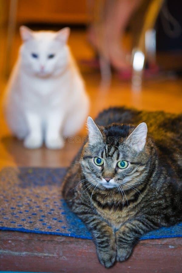 γάτες το κύριο s στοκ εικόνες