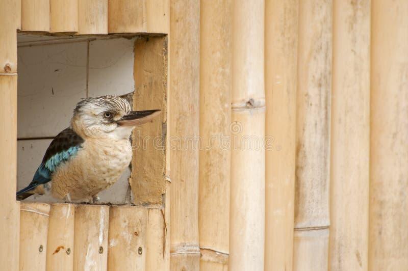 Γέλιο Kookaburra στοκ εικόνα