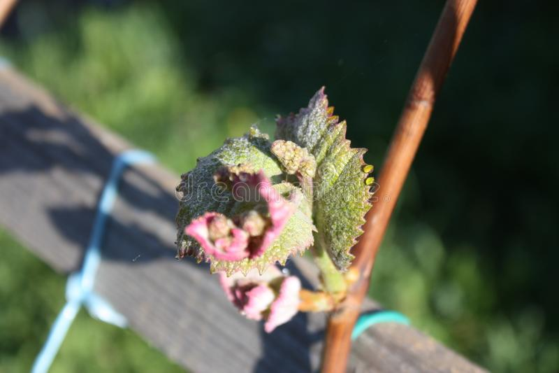 Γέννηση στα τριαντάφυλλα πρωινού, φύλλο των αμπέλων στοκ εικόνες με δικαίωμα ελεύθερης χρήσης