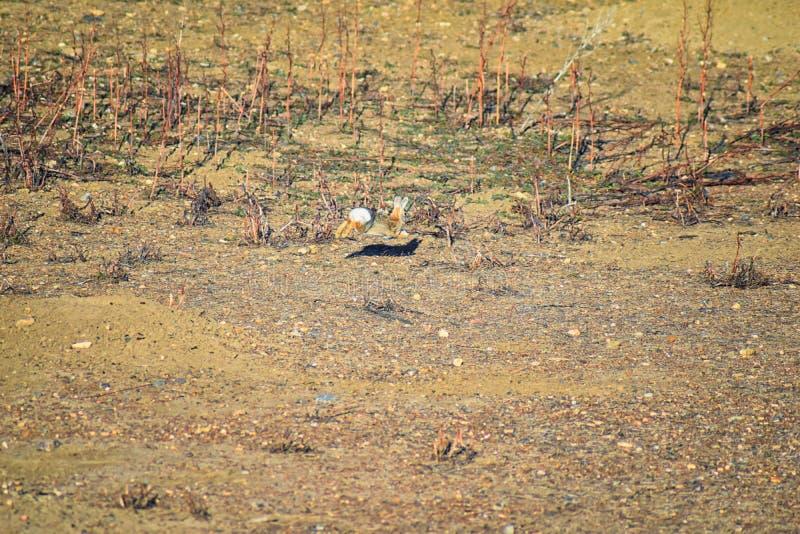 Γένος ludovicianus σκυλιών λιβαδιών Cynomys με μαύρη ουρά στο άγριο, χορτοφάγο burrowing τρωκτικό, στο λιβάδι shortgrass ecosyst στοκ φωτογραφίες