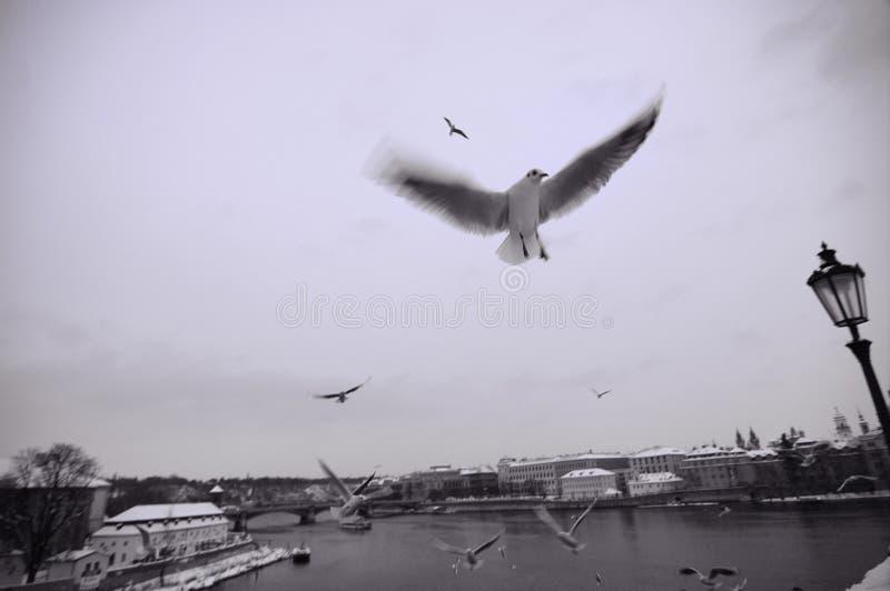 γέφυρα Charles κοντά seagulls στοκ εικόνες με δικαίωμα ελεύθερης χρήσης