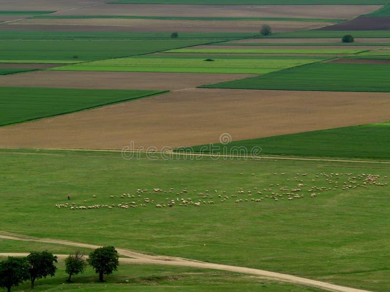 Γίνοντας με τα πρόβατα στοκ φωτογραφία