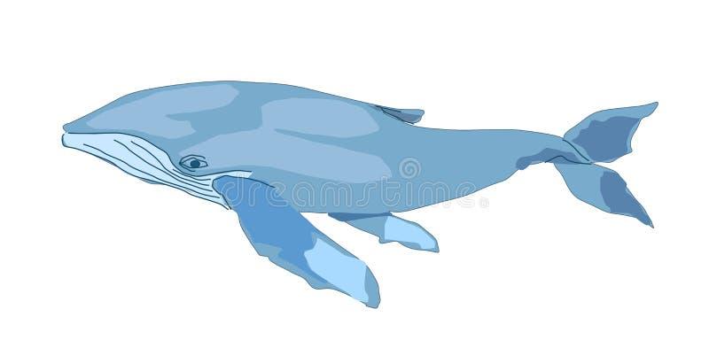 Γαλάζια φάλαινα που απομονώνεται στο άσπρο backgrount επίσης corel σύρετε το διάνυσμα απεικόνισης ελεύθερη απεικόνιση δικαιώματος