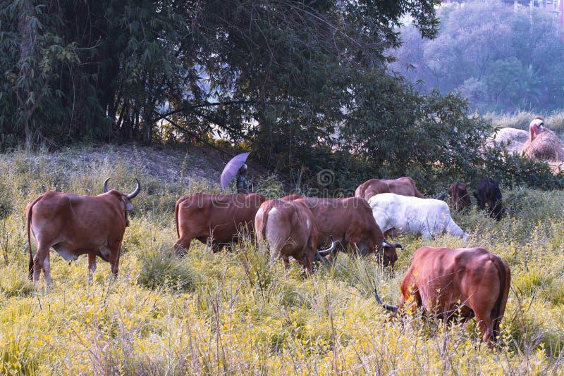 Γαλήνιο ασιατικό του χωριού τοπίο με τις αγελάδες και zebu τους ταύρους Όμορφο ινδικό zebu βρίσκεται ειρηνικά στο τροπικό δάσος στοκ εικόνες