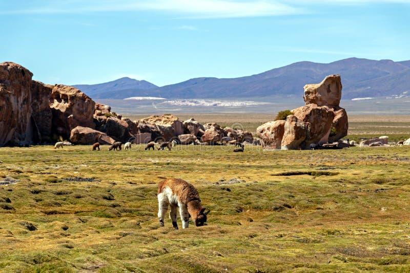 Γαλήνιο πράσινο τοπίο με τις προβατοκαμήλους και llamas, γεωλογικοί σχηματισμοί βράχου σε Altiplano, Άνδεις της Βολιβίας, Νότια Α στοκ εικόνες με δικαίωμα ελεύθερης χρήσης