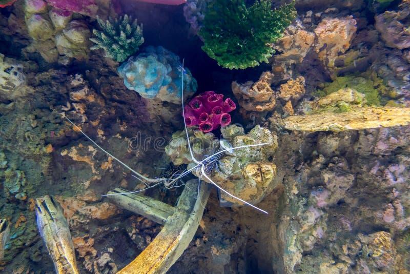Γαλαζοπράσινος αστακός, χρωματισμένος ακανθωτός αστακός στοκ φωτογραφία με δικαίωμα ελεύθερης χρήσης