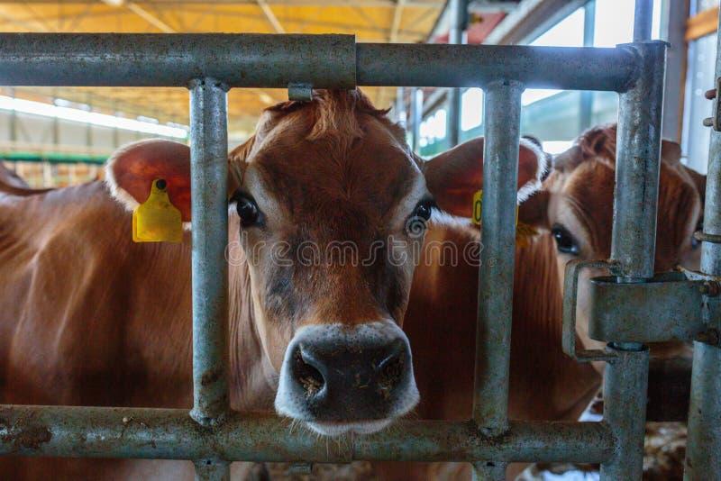 γαλακτοκομική φυλή αγελάδων του Τζέρσεϋ που τρώει τη χορτονομή σανού σε αγροτικό SOM σταύλων στοκ φωτογραφία