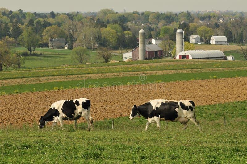 γαλακτοκομικό αγρόκτημα αγελάδων στοκ φωτογραφία με δικαίωμα ελεύθερης χρήσης