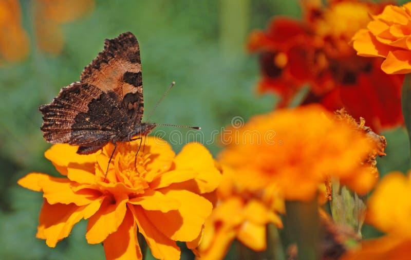 γαλλικά marigolds στοκ εικόνα