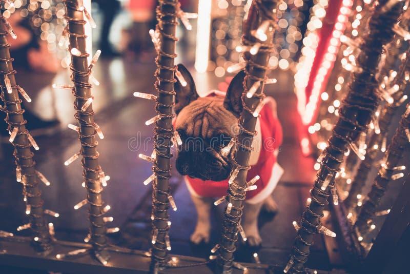 Γαλλική πόλη Χριστουγέννων μπουλντόγκ υπαίθρια στοκ εικόνες