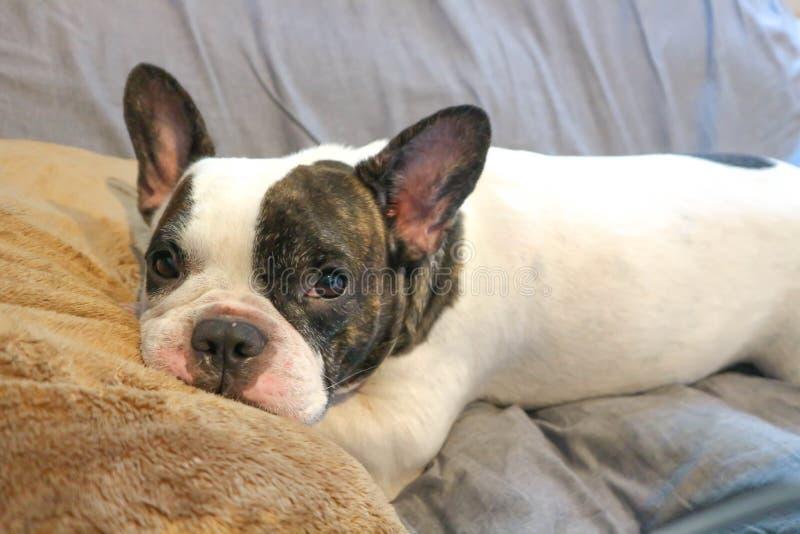 Γαλλικό σκυλί ταύρων στον καναπέ στοκ εικόνες με δικαίωμα ελεύθερης χρήσης