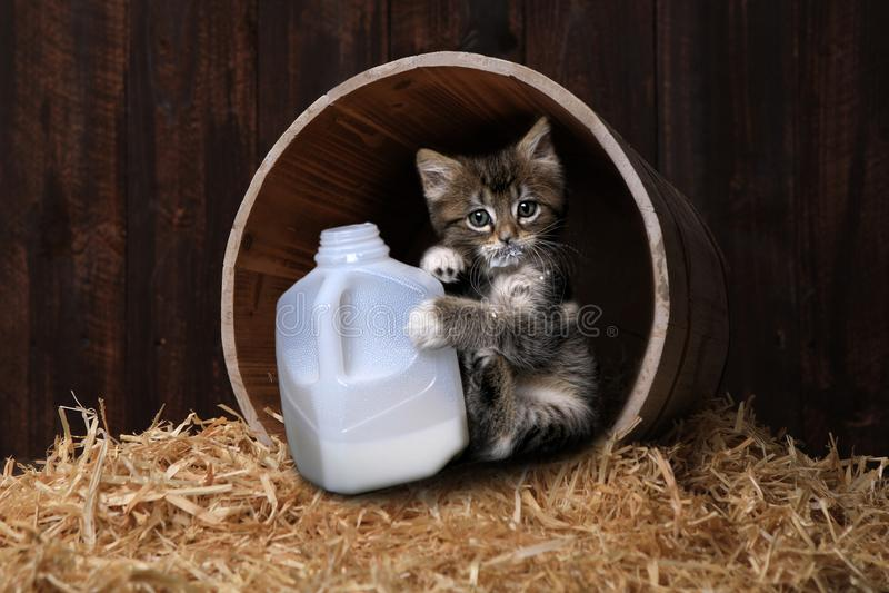 Γαλόνι κατανάλωσης γατακιών Maincoon του γάλακτος στοκ φωτογραφίες
