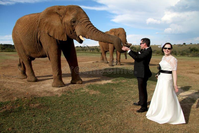Γαμήλιο ζεύγος και αφρικανικός βλαστός ελεφάντων στοκ φωτογραφίες