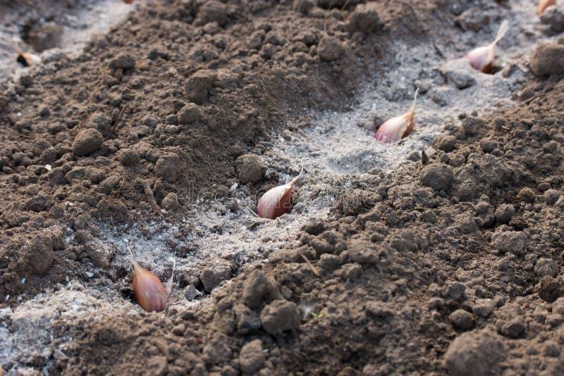 Γαρίφαλα σκόρδου furrow με την τέφρα στοκ εικόνες