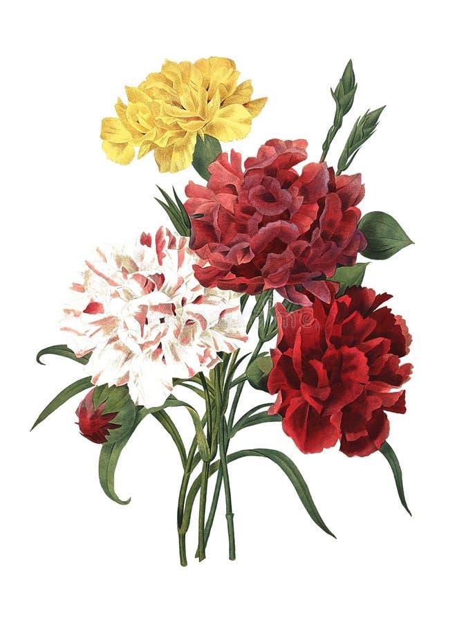 Γαρίφαλο   Παλαιές απεικονίσεις λουλουδιών ελεύθερη απεικόνιση δικαιώματος