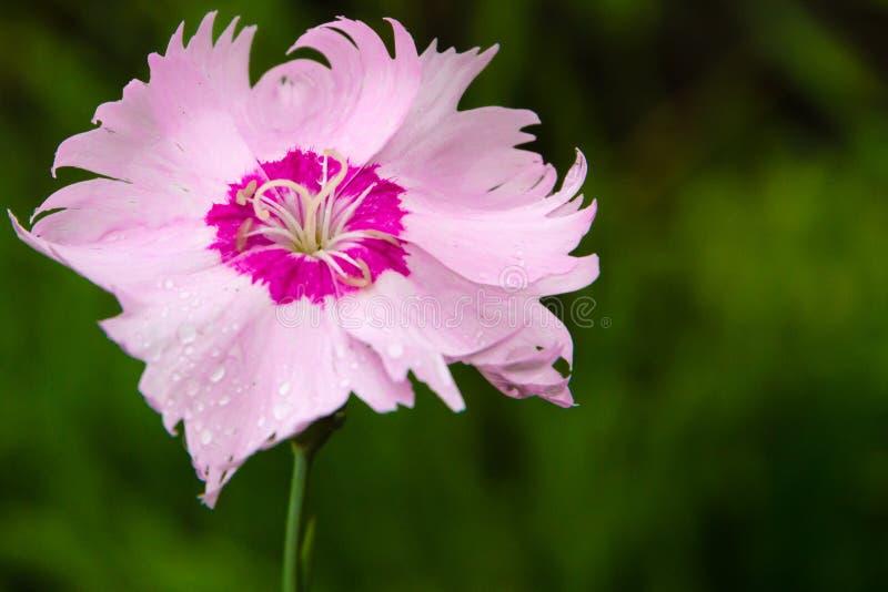 Γαρίφαλο στο θερινό κήπο μετά από τη βροχή στοκ φωτογραφίες με δικαίωμα ελεύθερης χρήσης