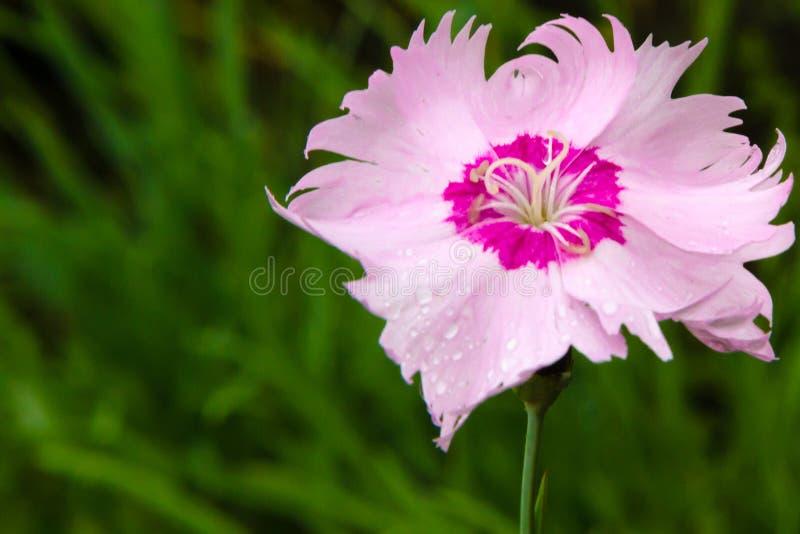 Γαρίφαλο στο θερινό κήπο μετά από τη βροχή στοκ φωτογραφία με δικαίωμα ελεύθερης χρήσης